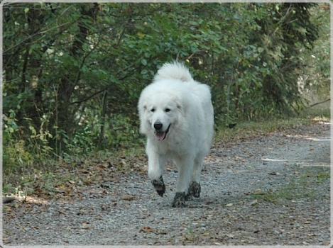 pyrenäenberghund welpen kaufen österreich
